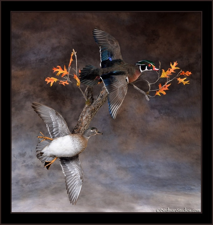 26 Best Duck Mount Ideas Images On Pinterest Taxidermy