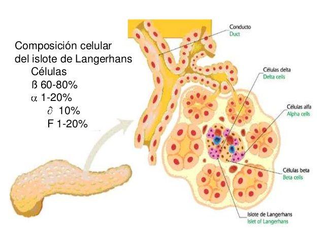islotes de anatomía del páncreas de langerhans y diabetes