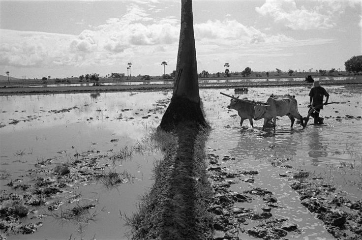 John Vink  CAMBODIA. Poun Daum Thlok (Takeo). 14/09/2002: Late rice planting in drought struck area.