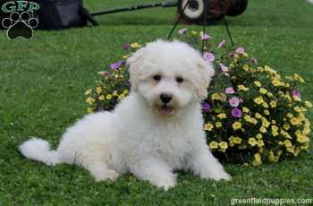 Bouncy and full of life is what you will find with Travis, a lovable Bichon puppy with a pretty coat of fur. This well rounded pup is up to date on shots and wormer, plus comes with a health guarantee provided by the breeder. To find out more about Travis, please contact Mary today!
