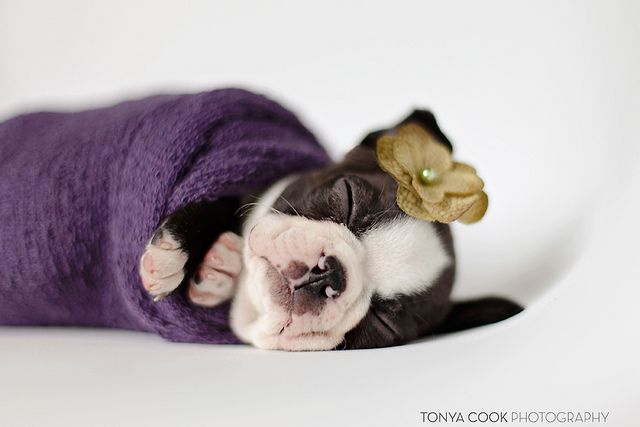 Best 25+ Terrier puppies ideas on Pinterest   Westie