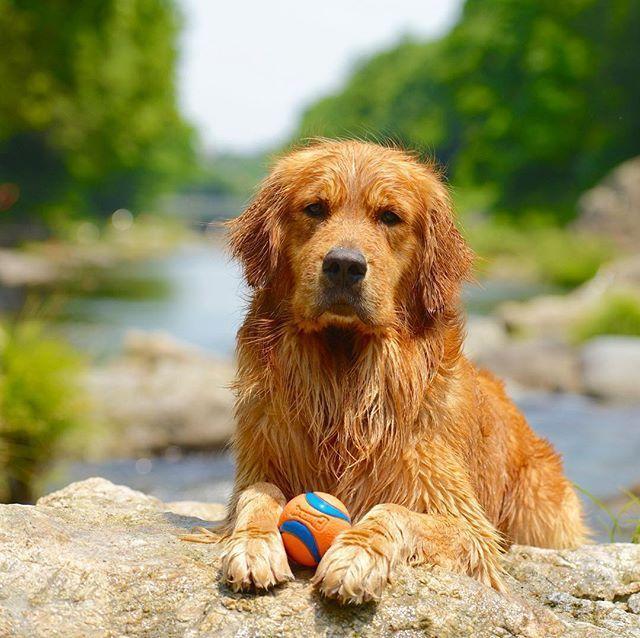 Monty Aggressive Dog Golden Retriever Dog Activities