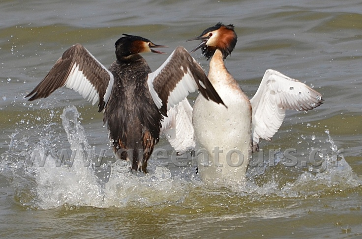 Great Crested Grebe (Podiceps cristatus) at Lake Kerkini