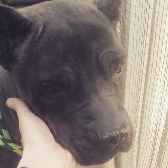 """""""#CHICAGO, IL: Nyla is an extremely friendly, yet very frightened, 8 year old cane corse mix at the Chicago city shelter. She is currently in a time…"""""""