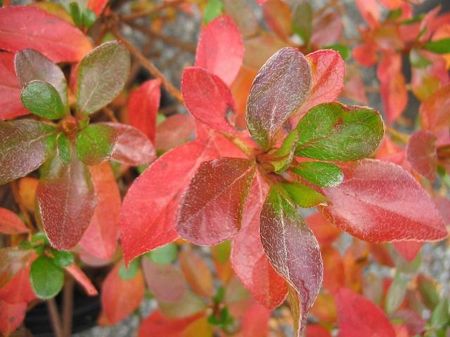 Azalea 'Girard's Crimson' by Behnke Nurseries, Inc, via Flickr