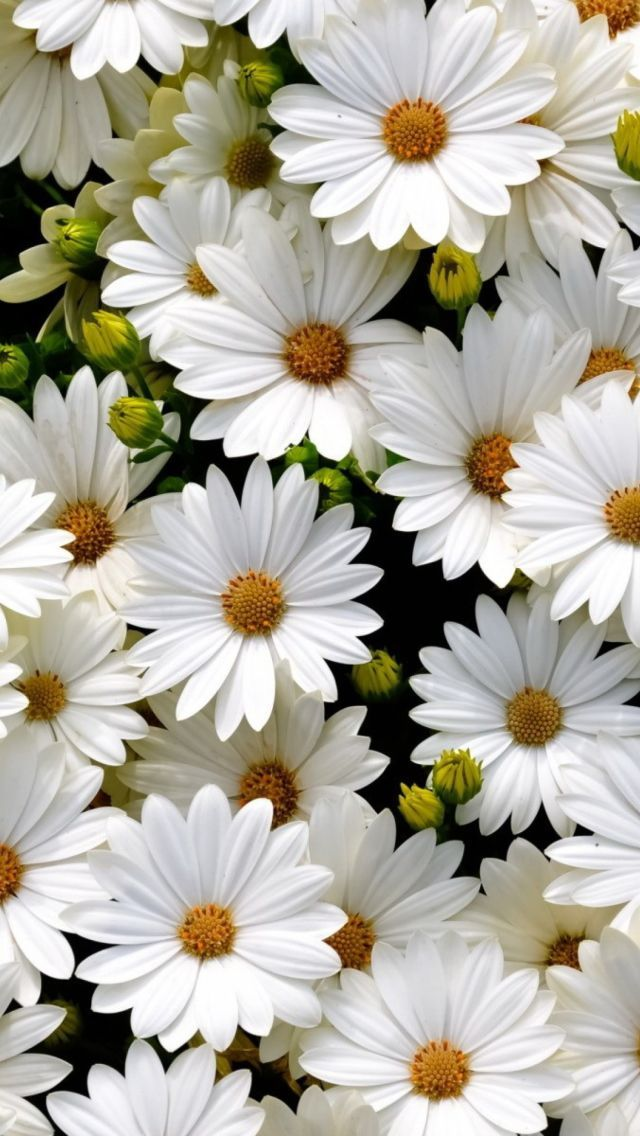Beautiful White Daisy Flowers Wallpaper for desktop and mobile in ...