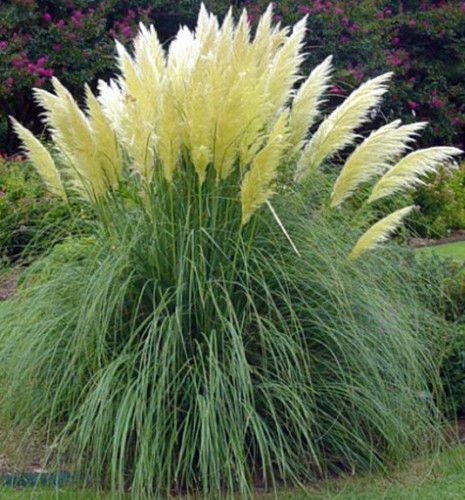 72 best images about ornamental grass on pinterest for Tall grass with plumes