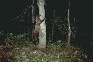 A fisher cat observed climbing a tree at night. Image from Wikimedia Commons courtesy of the New York State Education Department.
