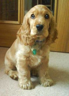 This is our golden cocker spaniel puppy Max - I can't remember how old he was in this photograph, but he looks so cute!  Max will be 6 years old in February 2013 - time just flies by!