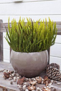 Strå og erika er planter som passer ute om høsten