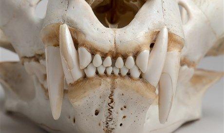 Oma, wat heeft u grote tanden...