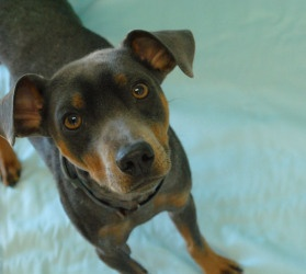 River is an adoptable Miniature Pinscher Dog in Bloomington, MN. River wants to meet you! He is a beautiful silver Miniature Pinscher that was surrendered by an owner that could no longer care for him...