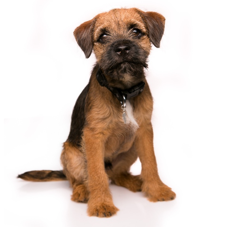 Baxter our border terrier