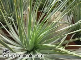 1000 ideas about yucca rostrata on pinterest yucca plant yucca tree and desert plants - Hardy office plants ...