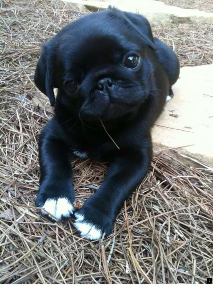 Read More About Black Pug Puppies For Adoption Please Click Here