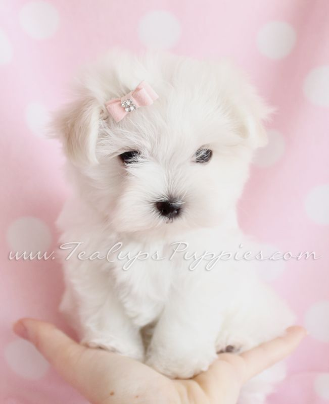 Maltese Puppies For Sale at TeaCups Puppies