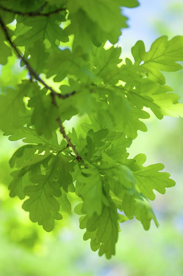 Young Green Oak Leaves by Jenny Rainbow