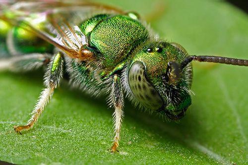 Sweat Bee - Augochloropsis metallica - (Metallic Green Bee)  iridescent green bee by Mundo Poco, via Flickr