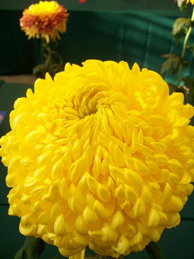 chrysanthemum Festival, Longwood gardens