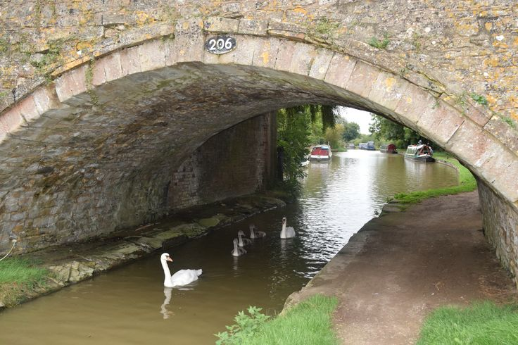 Large family of swans on Oxford Canal