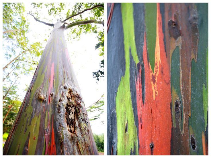 Loop Road, Kauai  - Rainbow Eucalyptus Trees