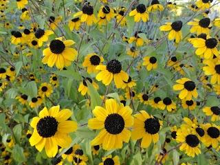 Kleine gelbe Sonnenblumen --- Small yellow  sunflowers