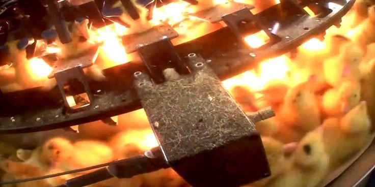 Photo de canetons placés dans un carrousel pour se faire coupé une partie du bec - Couvoir - France