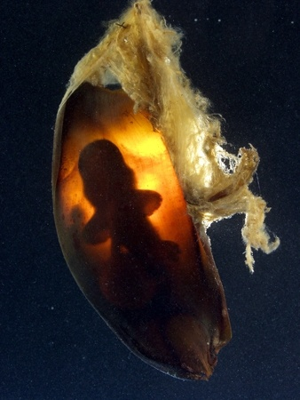 Deveoping swell shark embryo.  A. Reitsma. Aquarium of the Pacific
