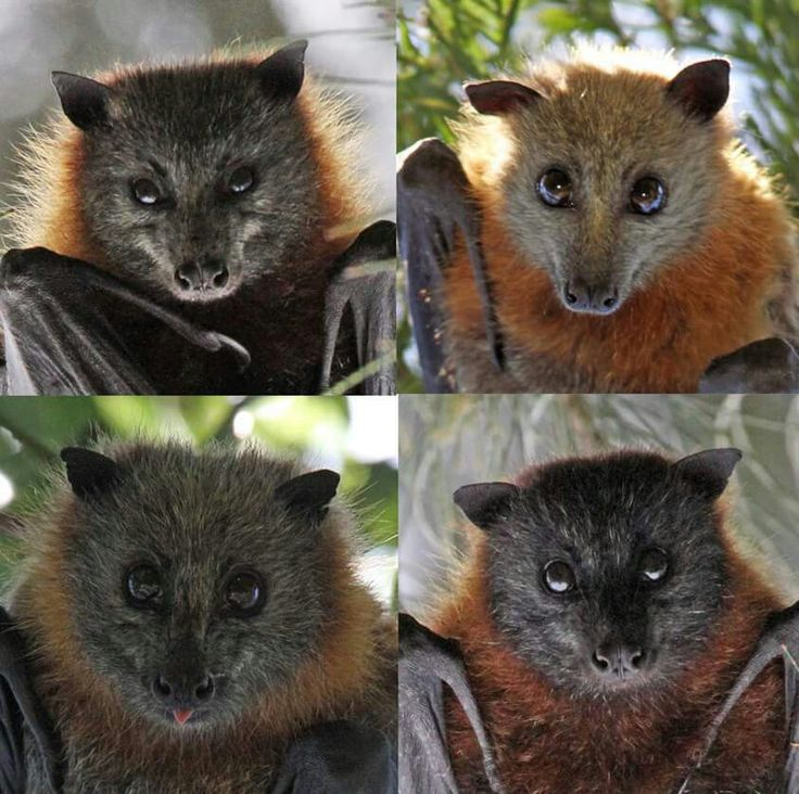Different Types Of Bats With Images Bat Photos Fruit