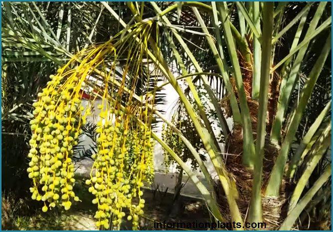 معلومات عامة عن نخلة التمر فوائد النبات فوائد معلومان عامه معلوماتية Plants Pandan Fruit
