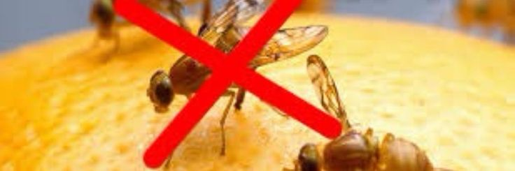 De officiële naam van de meest voorkomende fruitvlieg isdrosophila menalogaster. Vaak wordt er gedacht dat vliegeneitjes op het fruit zitten. Dit is niet zo.Fruitvliegen komen van buiten n