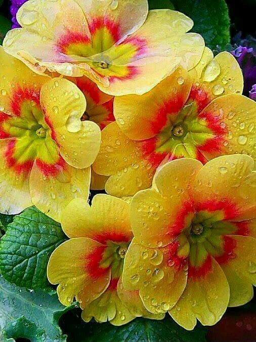The beautiful Primrose is a classic British flower, and always a welcome sight :)