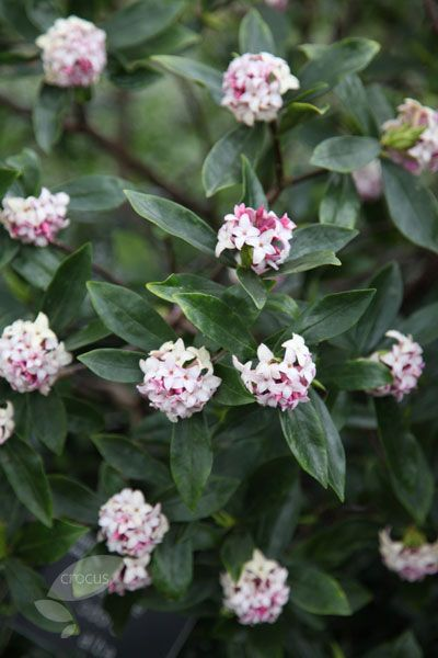 Daphne odora. 3-4'H. Needs acidic, well-drained soil (NEEDS; reputation for being finicky bc it easily gets root rot & dies).  Highly fragrant. Z 7-9. Popular companion for camellias bc it provides fragrance when camellia provides color.