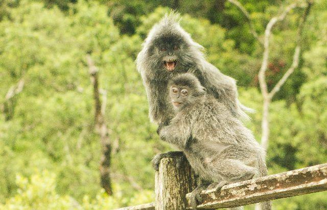 monos parque nacional bako borneo malasia