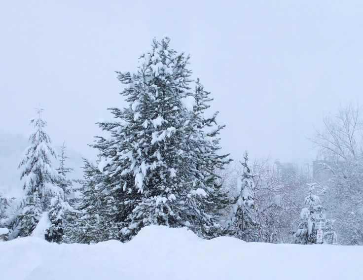 """Trees And Snow 2:  Looking over a bank of fresh snow at snow-covered evergreens during a snowstorm.  Winter, snow, snowstorm, trees, evergreens, Christmas scenery.  Quarter-Page size 1650 x 1275px (300ppi); prints at 5.5 x 4.25""""."""