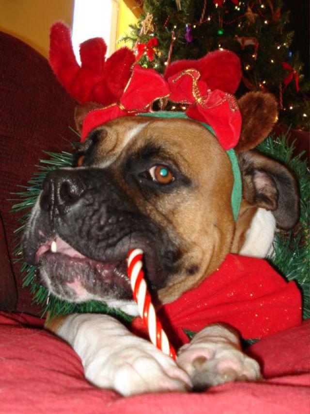 Imagenes de perritos comiendo dulces navideños Imagenes