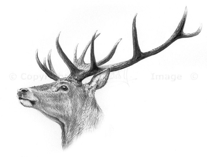 Deer drawing forest drawing deer sketch deer illustration stag head stag tattoo woodland art red deer wildlife art