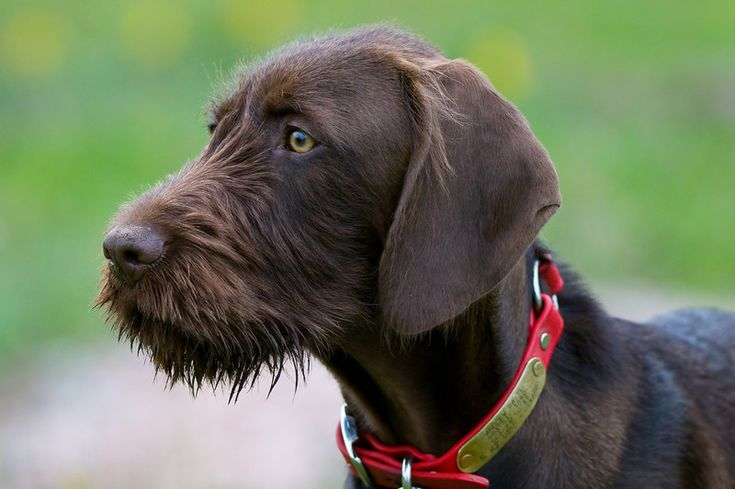 Pudelpointer / German hunting poodles | Pudelpointers ...