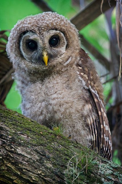 68 best Owls images on Pinterest | Owls, Barn owls and Owl