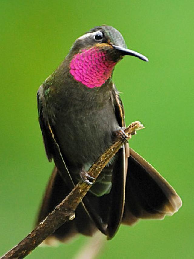 Colibrí amatistino (Lampornis amethystinus) Es nativo de El Salvador, Guatemala, Honduras y México. Vive en bosque montano húmedo tropical y subtropical.