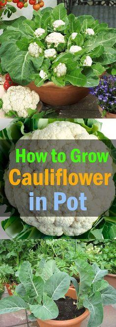 25 Best Ideas About Growing Cauliflower On Pinterest