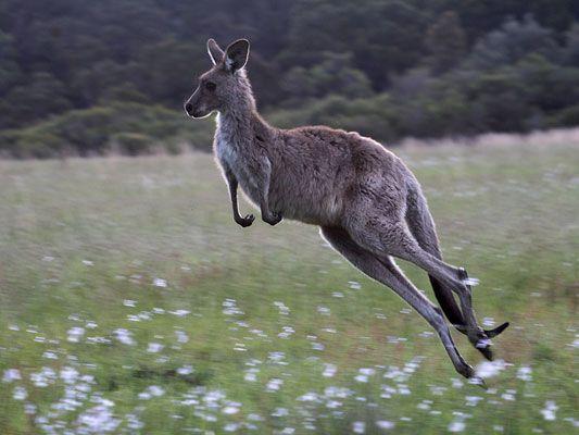 an analysis of the gray kangaroo animal species of australia Law, history, kangaroos, australia, welfare, animals,  four kangaroo species are commercially killed on  (western grey kangaroo), and m robustus (common.