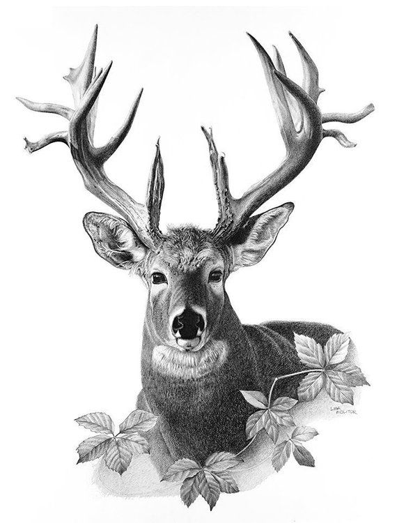 deer drawing pencil majestic tail drawings cervi buck zeichnung sketches zeichnen hirsch elk dibujos tattoo animal whitetail draw realistic easy