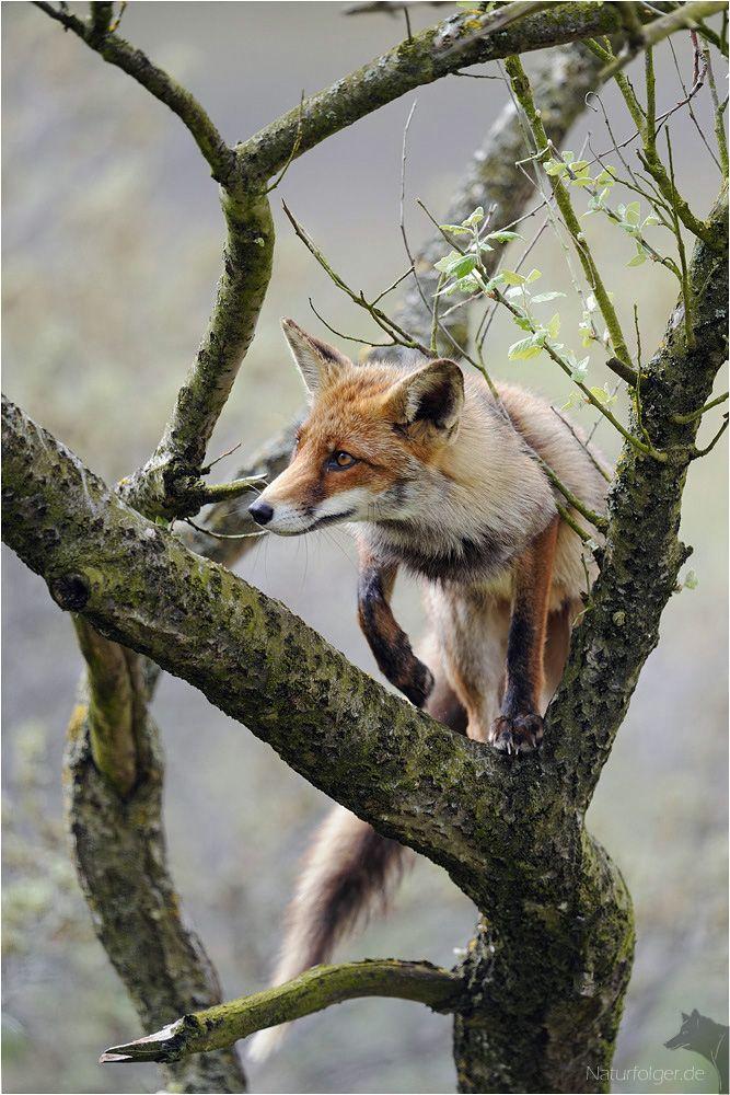 A better view #fox #red_fox #Vulpes_vulpes