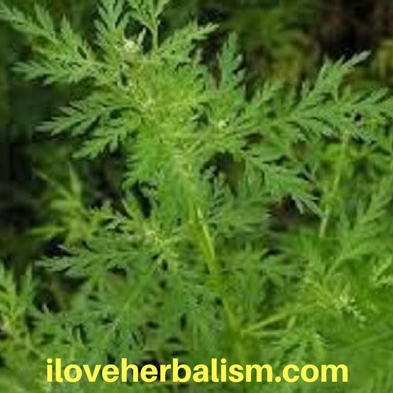 Artemisia Annua- Cancer Smart Bomb… A Revolutionary Change That We Should Be Looking At This is one of the most amazing videos I have ever  watched. In this video, Dr. Saputo explains how this herb can destroy cancer cells in a very ... Read More »