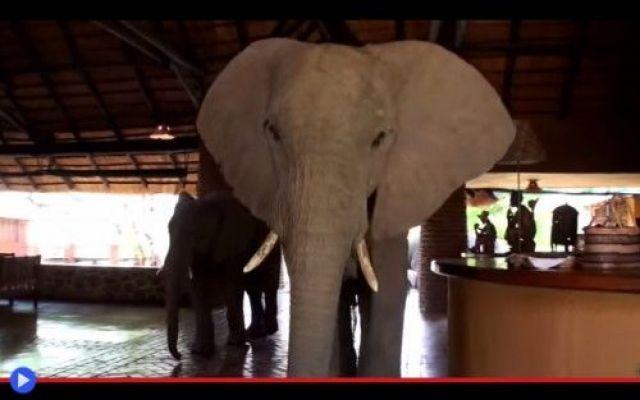 """Gli elefanti affamati non prenotano MAI l'hotel """"Vuoi dire che ho dovuto rinunciare al mio tè di metà pomeriggio coi biscotti soltanto a causa di QUESTO?"""" Un mango...Profumato. Si tratta di un problema endemico di questi luoghi, il che tra l'altro #animali #africa #elefanti #viaggi #hotel"""