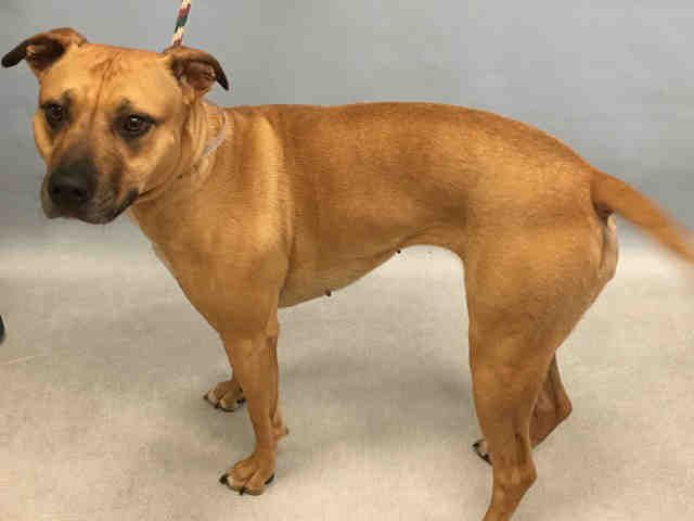 Urgent Manhattan - CHEVY - #A1092564 - SPAYED FEMALE TAN WHITE AM PIT BULL TER MIX, 4 Yrs - OWNER SUR - EVALUATE, NO HOLD Reason TOO STRONG - Intake 10/06/16 due Out 10/06/16 -ENERGETIC, ALLOWS HANDLING