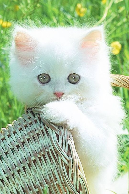 White kitten in a basket. Reminds me of spring. I can't wait 'til spring!
