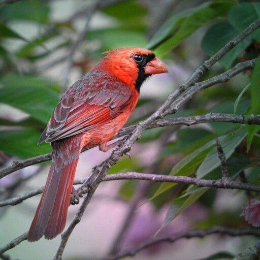 Cardinal  photo by Jessie Mann