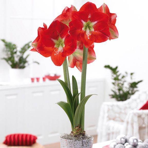 Amaryllis Minerva 28/30cm. The jumbo flowers measure up to 8